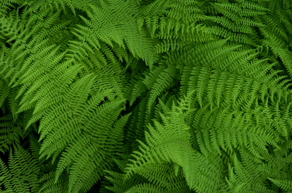 A pattern of lace, the ferns grow at the edge of the tree line.